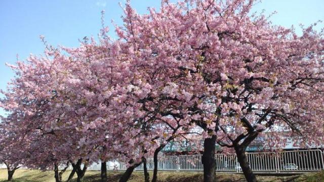 河津 桜 が ようやく 満開